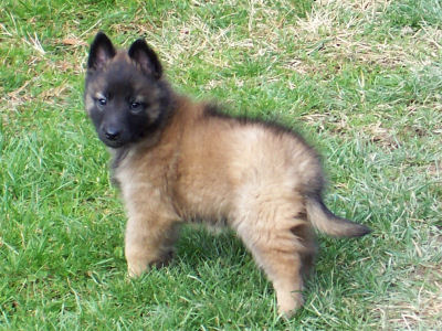 Belgian Tervuren Dog Puppies